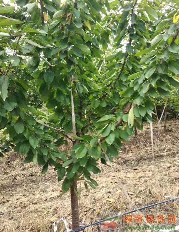 四年生5公分结果俄罗斯八号樱桃树