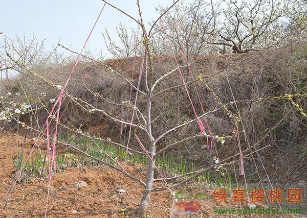五年生6公分俄罗斯八号丰产樱桃树苗