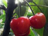 早熟的樱桃品种 奇早