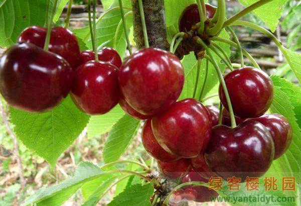 晚熟品种 拉宾斯樱桃苗