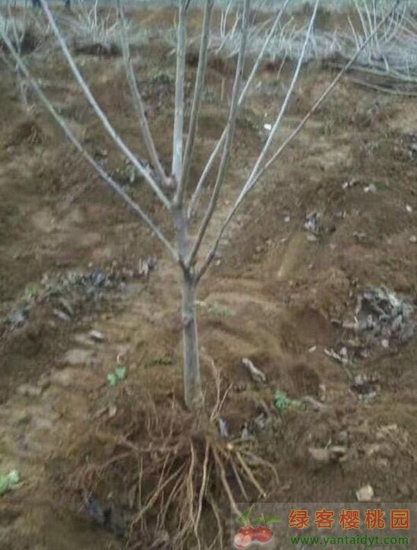 拉宾斯三年生4公分左右樱桃苗