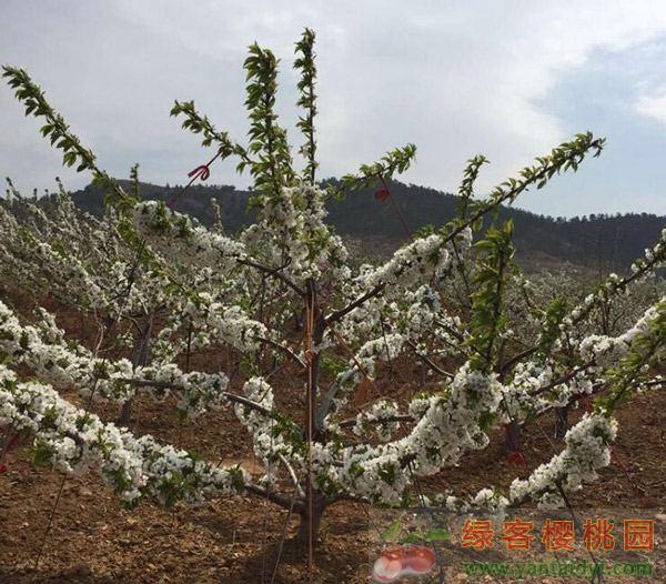 拉宾斯五年生结果樱桃树苗