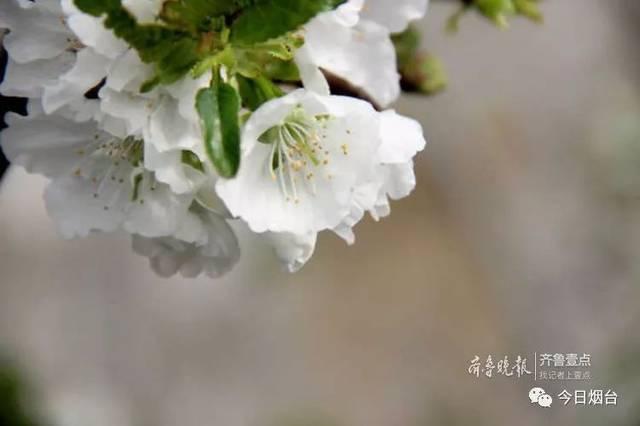 烟台大棚樱桃已开花,4月中旬能吃大樱桃了