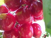 都说烟台大樱桃好吃,绿客带你了解烟台大樱桃