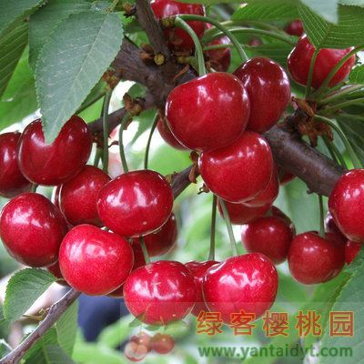 北方种大樱桃苗选哪些樱桃品种比较好