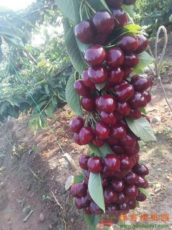 高产的樱桃品种