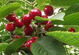 烟台大樱桃:中国最大的大樱桃产地