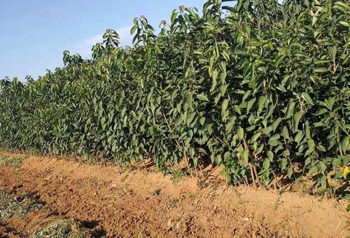 大樱桃苗1-3公分粗早熟中熟晚熟优质品种樱桃苗