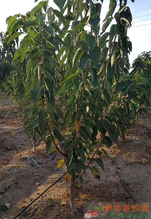 樱桃苗4-6公分粗挂果树苗